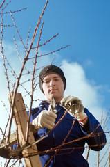 Gardener pruning apricot brunches