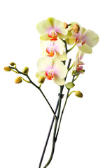 Yellow orchid branch