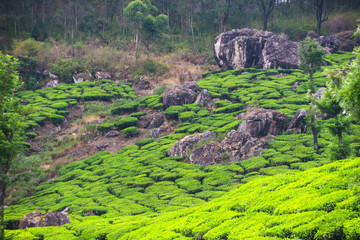 Tea plantations, Kerala, India