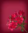 Alstroemeria flowers on colored background