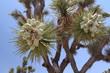 Frutti di Yucca - Joshua Tree NP