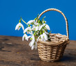 snowdrops in a little basket on old wooden table