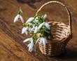 snowdrops in a basket on old wooden table