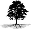 isolated pine with root silhouette