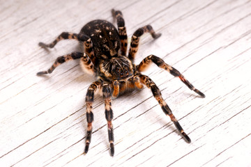 Top view of tarantula spider