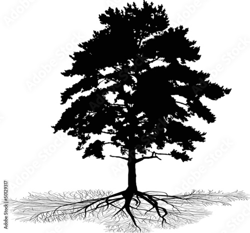 isolated pine with root silhouette - 50129317