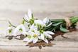 sprin flowers - snowdrops