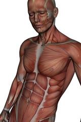 Muskel Körper