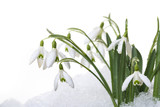 snowdrops in snow isolated