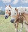 zwei Isländer Pony