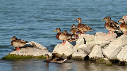 Wild ducks on the rock