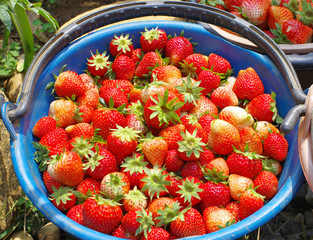 fresh red strawberry from orchard in bucket
