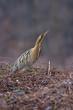 Tarabuso, Botaurus stellaris