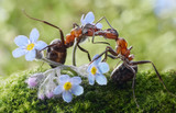 ants kissing in flowers (actually feeding)