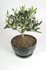 bonsai di Pasqua