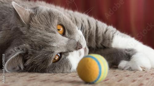 canvas print picture Britisch Kurzhaar Katze und ihren bunten Spielball