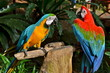 Colourful Parrots playing on a tree