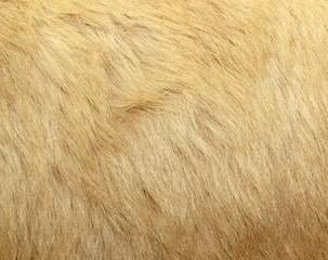 detail of polar bear fur