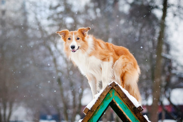 Red Dog border collie training in winter