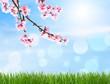 Kirschblüte als Hintergrund
