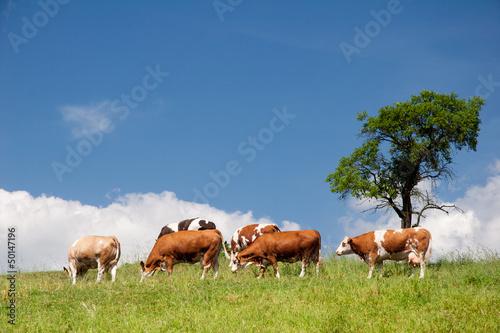 Sommerlandschaft mit Kühen in Thüringen