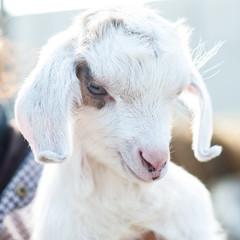 free lamb on the farm