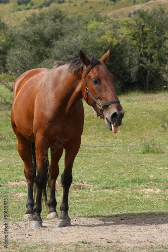 horse sticking out tongue