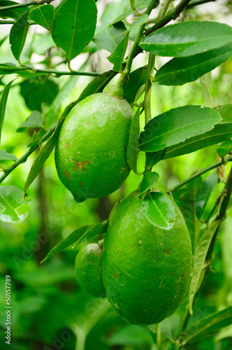 Mature lemons on tree