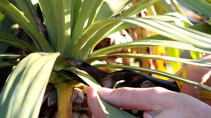 Pruning spikey palm plant
