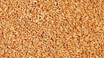 Full frame video shot of wheat