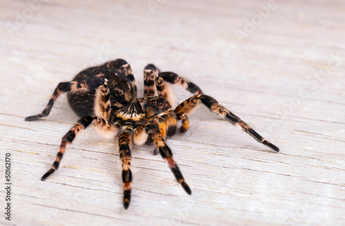 Side view of  tarantula spider