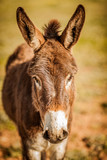 Donkey with his ears up
