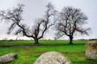Two trees at Long Meg Stone Circle