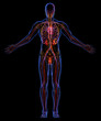 Circulatory, Lymphatic and Urinary systems