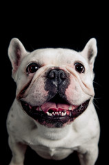 Funny french bulldog portrait