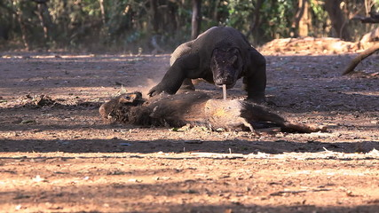 Komodo Dragon comes nearer to the victim. Rinca island.