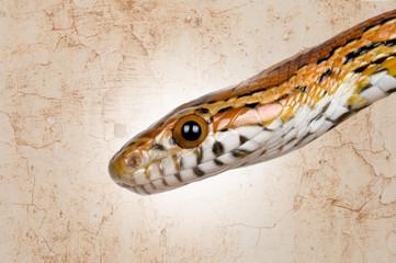 photograph of a harmless corn snake