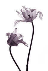 tulip  silhouettes on white