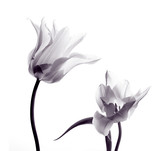 Fototapety tulip  silhouettes on white