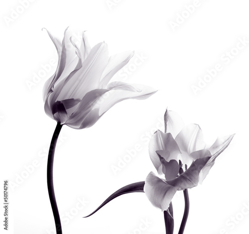 Deurstickers Tulp tulip silhouettes on white