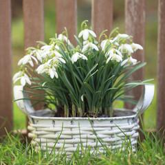 Schneeglöckchen im Korb vor Zaun