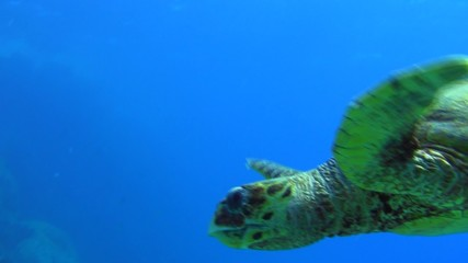 Underwater realms of red sea - Turtle looking at you