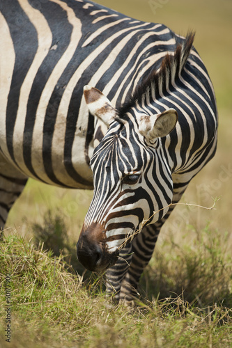 Wypas Zebra
