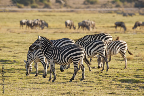 Grupa zebry w Savannah