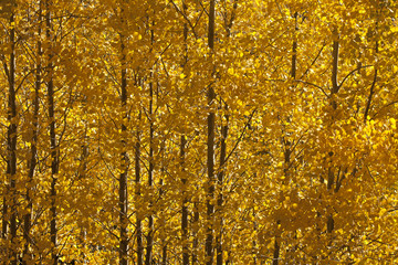 Trees with yellow autumn leaves