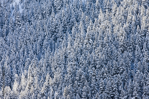 Snow covered forest trees