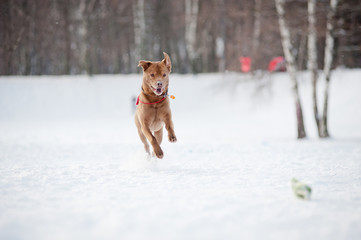 Brown dog running to catch a toy in winter