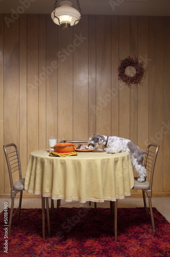 Miniature schnauzer eating food from table