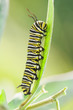 Monarch caterpillar crawling on leaf