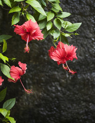 Blooming red hibiscus flowers